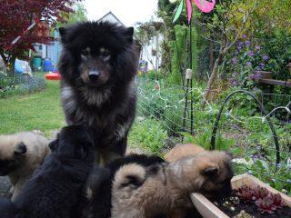 Sieben Wochen Alte Welpen Im Garten